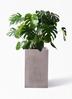 観葉植物 モンステラ 8号 ボサ造り セドナロング グレイ 付き