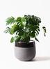 観葉植物 モンステラ 8号 ボサ造り ファイバーストーンタウルス 黒 付き