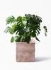 観葉植物 モンステラ 8号 ボサ造り テラアストラ カペラキュビ 赤茶色 付き