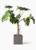 観葉植物 セローム ヒトデカズラ 8号 根あがり コンカー キューブ 灰 付き