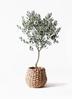 観葉植物 オリーブの木 8号 創樹 ラッシュバスケット Natural 付き