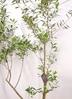 観葉植物 オリーブの木 【240cm】 オリーブの木 チプレッシーノ10号 #23373 ※1都3県配送限定商品 ラスターポット付き 2枚目
