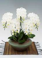 ミディ胡蝶蘭 アマビリス 5本立ち 和鉢まどか(敷物付き)