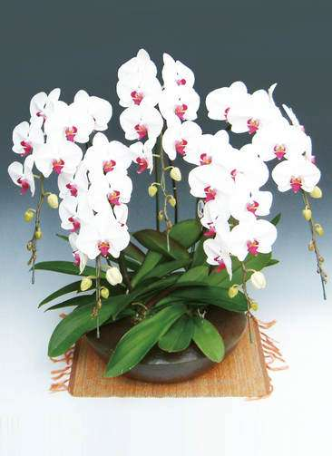 胡蝶蘭大輪 赤リップ 5本立ち 和鉢まどか(敷物付き)