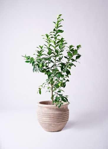 果樹 レモンの木 8号 リスボン テラアストラ リゲル 赤茶色 付き