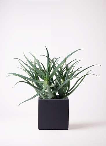 多肉植物 アロエ キダチ8号 ベータ キューブプランター 黒 付き