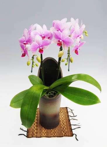 胡蝶蘭中大輪 スーパーマーメイド 2本立ち 和鉢かぐや