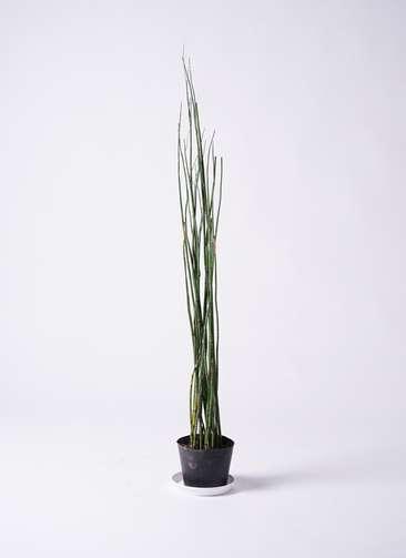 観葉植物 トクサ 6号 プラスチック鉢