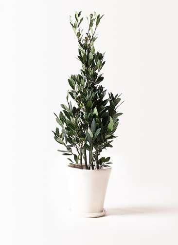 観葉植物 月桂樹 8号 サブリナ 白 付き