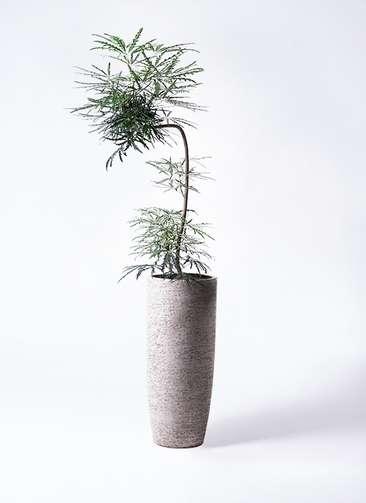 観葉植物 グリーンアラレア 8号 曲り(L字) エコストーントールタイプ Gray 付き