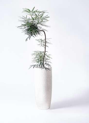 観葉植物 グリーンアラレア 8号 曲り(L字) エコストーントールタイプ white 付き
