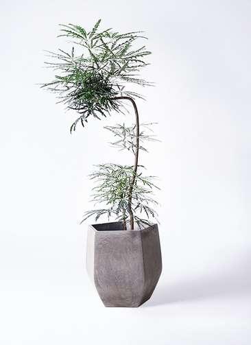 観葉植物 グリーンアラレア 8号 曲り(L字) ファイバークレイ Gray 付き
