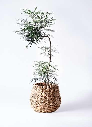 観葉植物 グリーンアラレア 8号 曲り(L字) ラッシュバスケット Natural 付き