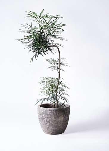 観葉植物 グリーンアラレア 8号 曲り(L字) アビスソニアミドル 灰 付き