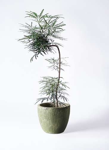 観葉植物 グリーンアラレア 8号 曲り(L字) アビスソニアミドル 緑 付き