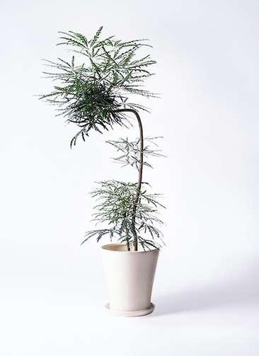 観葉植物 グリーンアラレア 8号 曲り(L字) サブリナ 白 付き