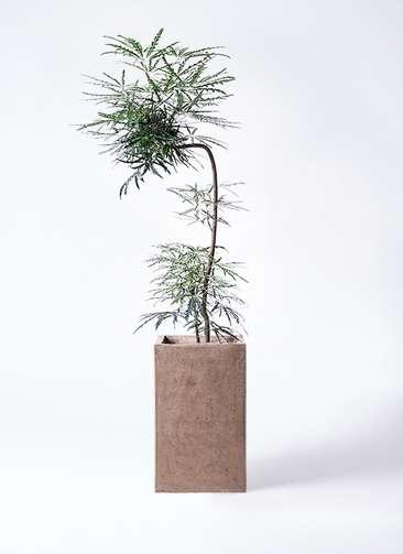観葉植物 グリーンアラレア 8号 曲り(L字) セドナロング グレイ 付き