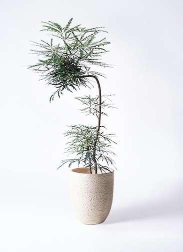 観葉植物 グリーンアラレア 8号 曲り(L字) ビアスアルトエッグ 白 付き