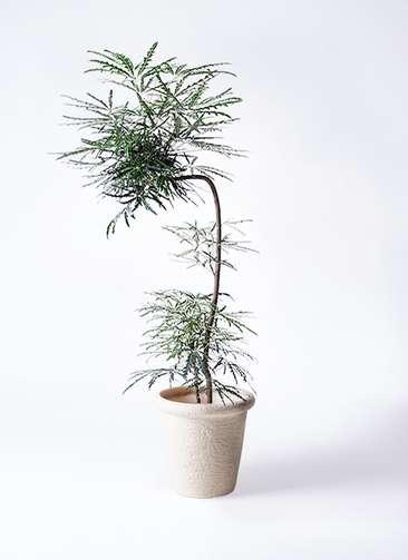 観葉植物 グリーンアラレア 8号 曲り(L字) ビアスリムス 白 付き