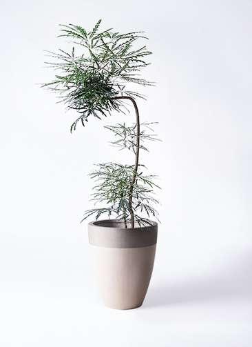 観葉植物 グリーンアラレア 8号 曲り(L字) ファイバーストーンカプリ サンディホワイト 付き