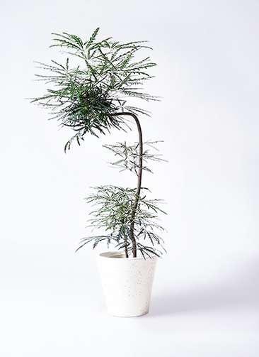 観葉植物 グリーンアラレア 8号 曲り(L字) フォリオソリッド 白 付き