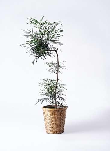 観葉植物 グリーンアラレア 8号 曲り(L字) 竹バスケット 付き