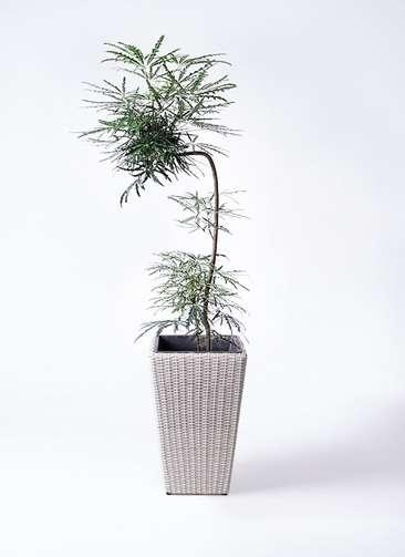 観葉植物 グリーンアラレア 8号 曲り(L字) ウィッカーポット スクエアロング OT 白 付き