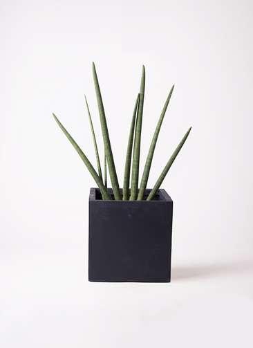 観葉植物 サンスベリア スタッキー 10号 ベータ キューブプランター 黒 付き