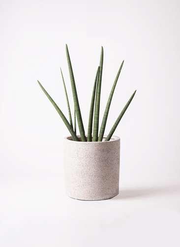 観葉植物 サンスベリア スタッキー 10号 サンディ シリンダー 白 付き