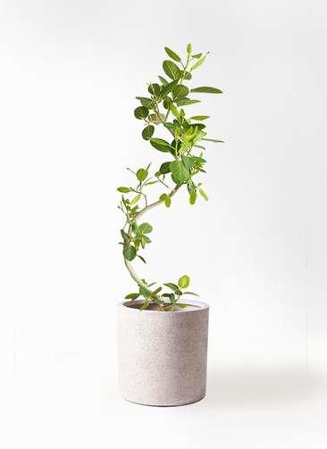 観葉植物 フィカス ベンガレンシス 曲り10号 サンディ シリンダー 白 付き