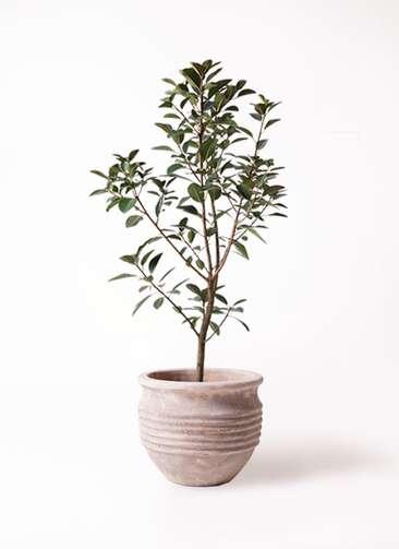 観葉植物 フランスゴムの木 8号 テラアストラ リゲル 赤茶色 付き