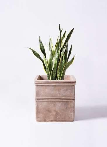 観葉植物 サンスベリア 8号 テラアストラ カペラキュビ 赤茶色 付き