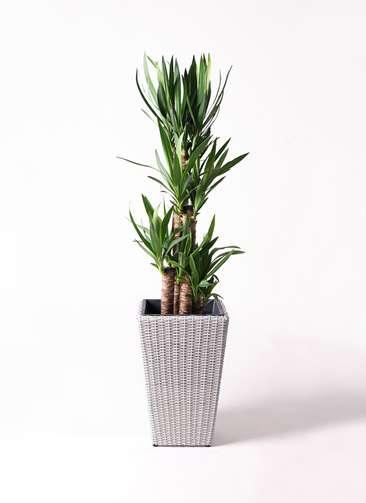 観葉植物 ユッカ 8号 ノーマル ウィッカーポット スクエアロング OT 白 付き