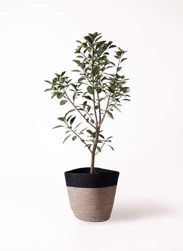 観葉植物 フランスゴムの木 8号 リブバスケットNatural and Black 付き