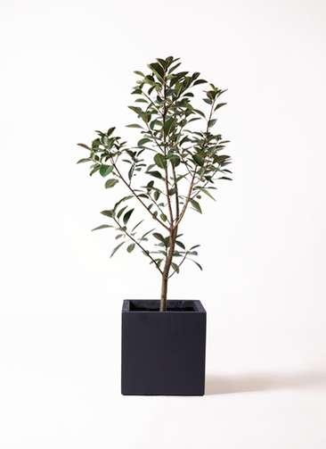 観葉植物 フランスゴムの木 8号 ベータ キューブプランター 黒 付き