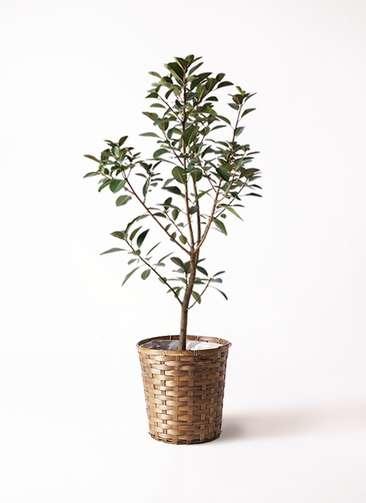 観葉植物 フランスゴムの木 8号 竹バスケット 付き