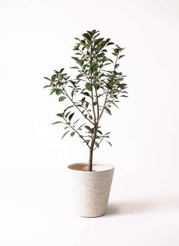 観葉植物 フランスゴムの木 8号 ビアスソリッド 白 付き
