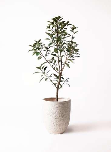 観葉植物 フランスゴムの木 8号 ビアスアルトエッグ 白 付き