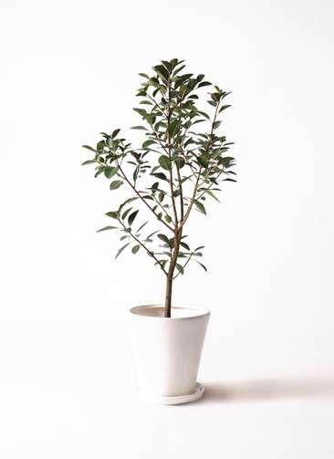 観葉植物 フランスゴムの木 8号 サブリナ 白 付き