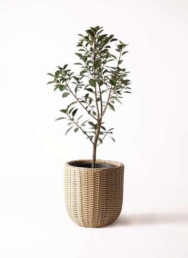 観葉植物 フランスゴムの木 8号 ウィッカーポットエッグ ベージュ 付き