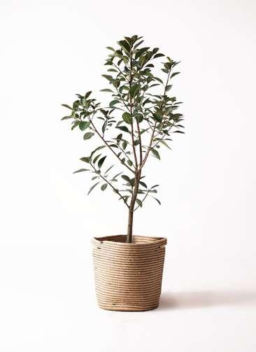 観葉植物 フランスゴムの木 8号 リブバスケットNatural 付き