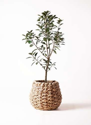 観葉植物 フランスゴムの木 8号 ラッシュバスケット Natural 付き