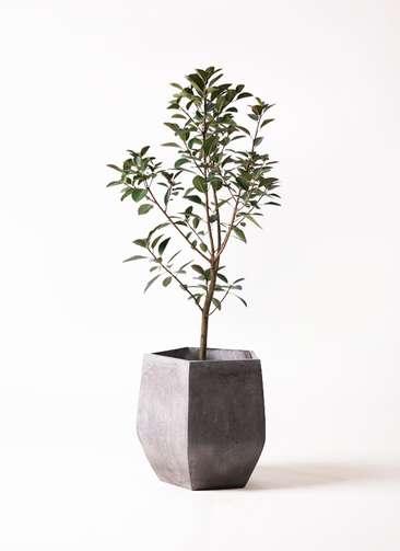 観葉植物 フランスゴムの木 8号 ファイバークレイ Gray 付き