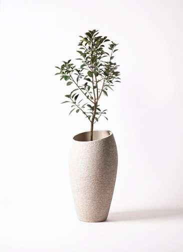 観葉植物 フランスゴムの木 8号 エコストーントールタイプ Light Gray 付き
