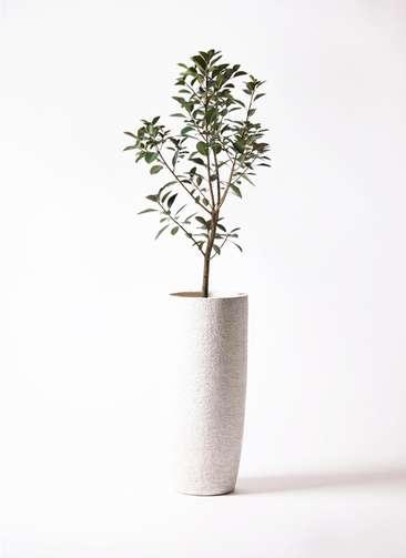 観葉植物 フランスゴムの木 8号 エコストーントールタイプ white 付き