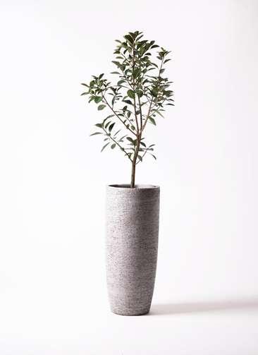 観葉植物 フランスゴムの木 8号 エコストーントールタイプ Gray 付き