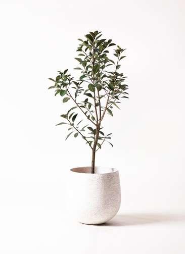 観葉植物 フランスゴムの木 8号 エコストーンwhite 付き