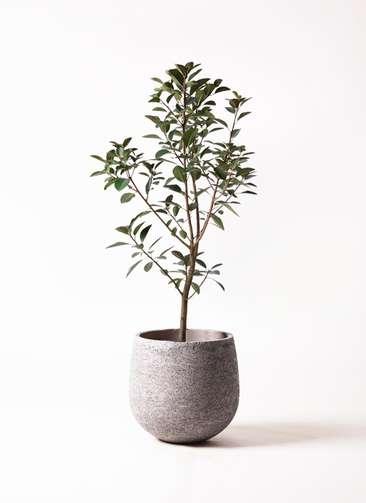 観葉植物 フランスゴムの木 8号 エコストーンGray 付き