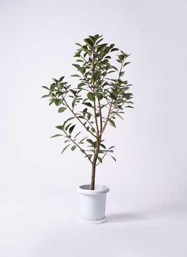 観葉植物 フランスゴムの木 8号 プラスチック鉢
