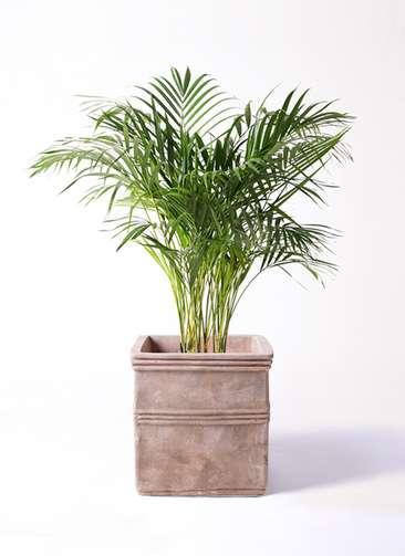 観葉植物 アレカヤシ 8号 テラアストラ カペラキュビ 赤茶色 付き